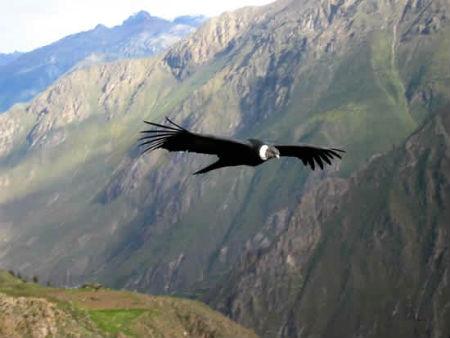 Colca-El vuelo del Condor