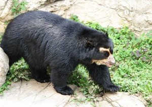 chaparri-oso