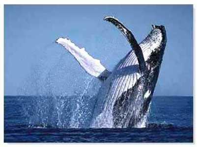 Avistamiento de ballenas en el Perú